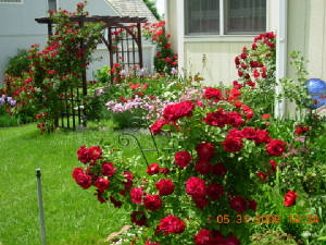 Roses in the back yard