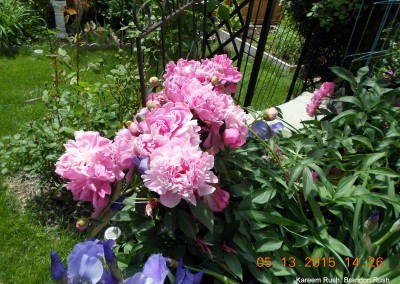 Peonies in our gardens