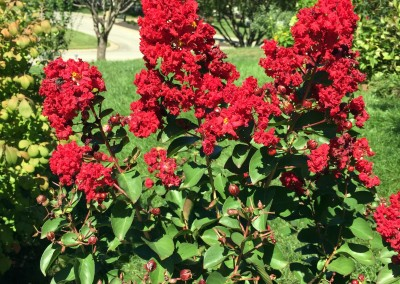 Red Myrtle in our front yards Summer 2015