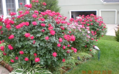 Roses in the front yard entrance